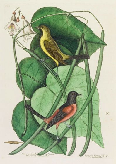 Catesby, Mark: The Basterd Baltimore Bird in the Catalpah Tree. Fine Art Print/Poster (4746)